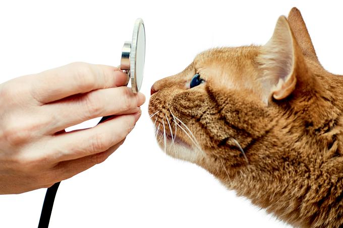 Gato Veterinário